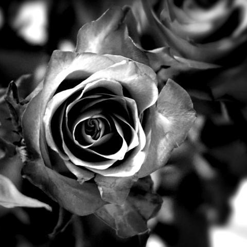 czarno-białe zdjęcie róży